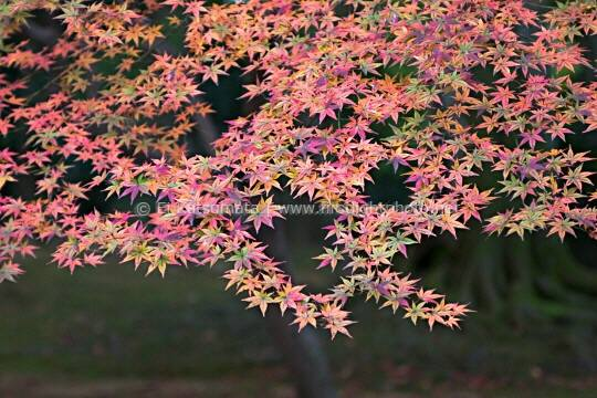 Japanese maple (Acer palmatum) leaves in autumn colors, Kinkakuji Temple, Kyoto, Kansai Region, Japan