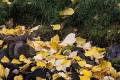 Autumn leaves of the quaking aspen trees (Populus tremuloides) along McGee Creek, Inyo National Forest, California, United States of America